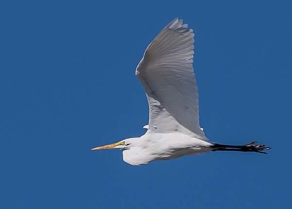 White Egret Soaring