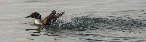 Common Loon Kicking Up A Fuss