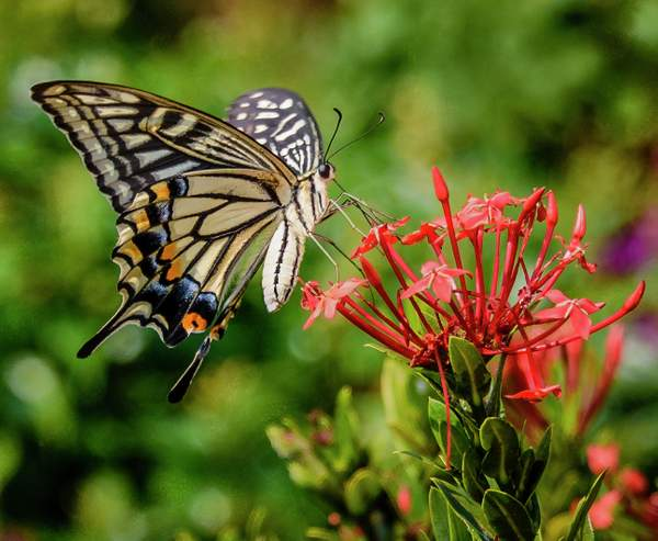 Swallowtail Butterfly cropped