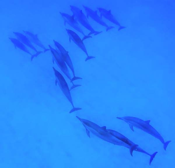 Dolphins In Diagonal Formation