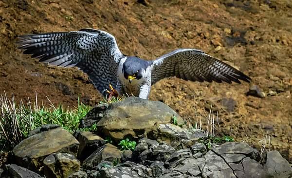 Female Falcon Settling In for Dinner