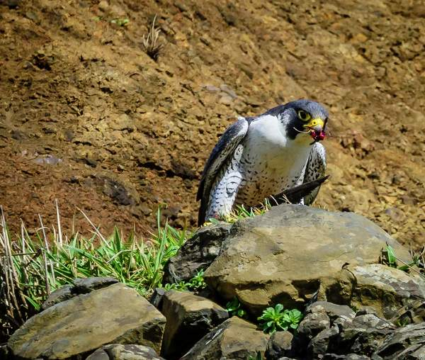 Female Falcon With Full Beak