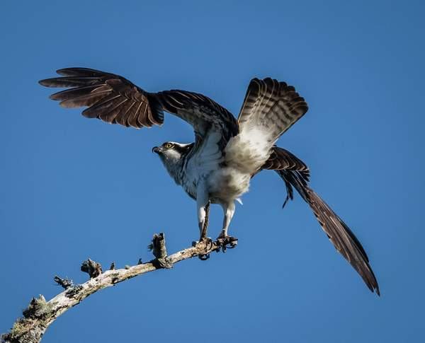Carter Lake Osprey Ready for Take Off1) - Copy