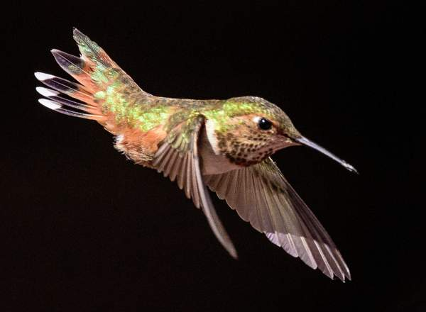 Female Rufous Taking A Divey