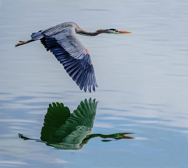 Flying Heron Reflected