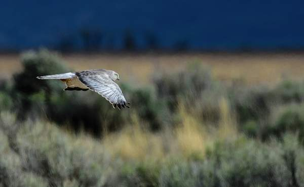 Flying Male Northern Harrier