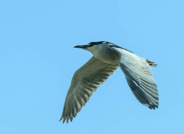 Flying Night Heron Through the Windshield