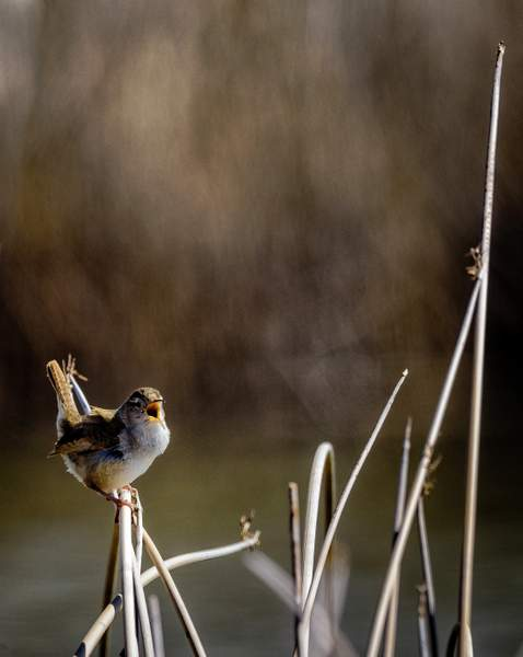 Marsh Wren Singing His Heart Out