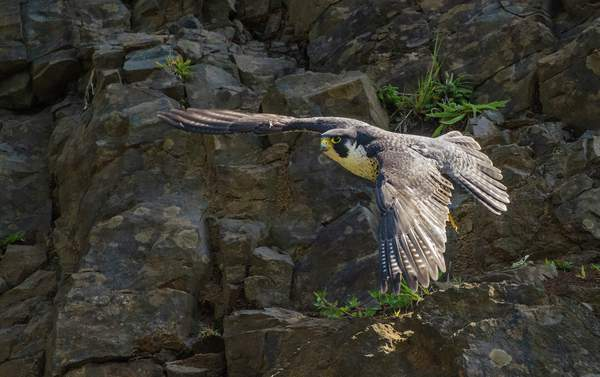 Peregrine Falcon Flying Back To the Nest (1 of 1)