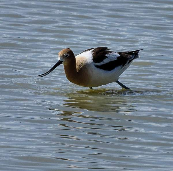 Avocet With Water Drops