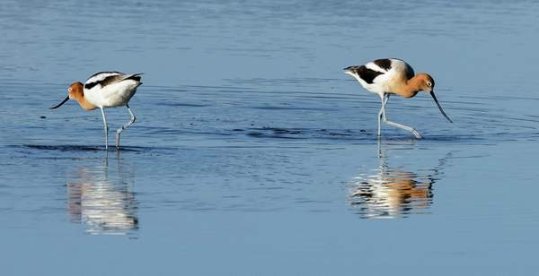 Avocets Playing Hard To Get