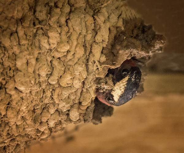 Swallow Mudding the Nest