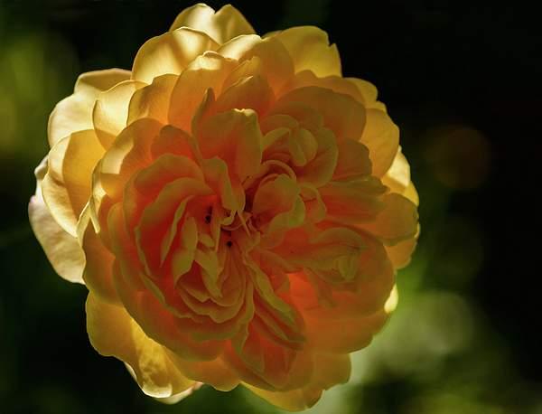 Backlit Tea Rose