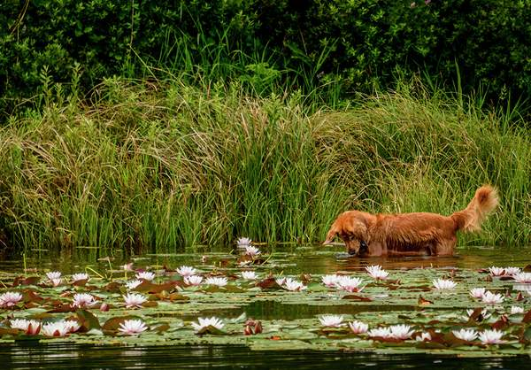 DogIn the Lily Pads