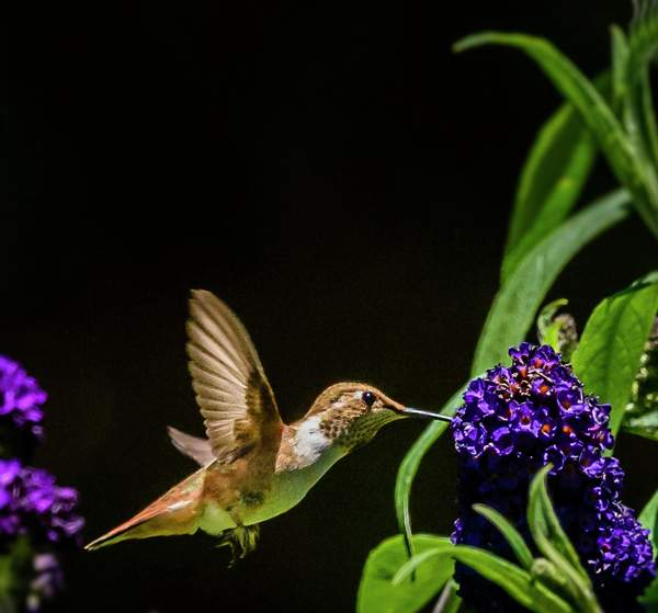 This Hummer Thinks He Is a Butterfly (1 of 1)
