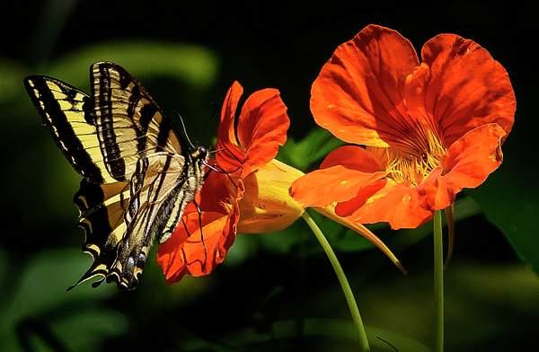 Butterfly with Nasturtium