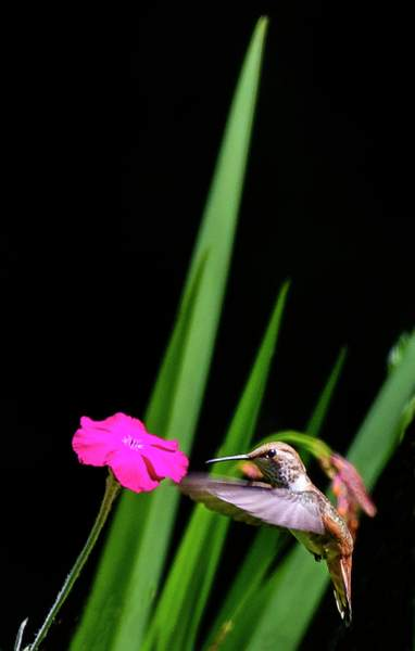 Hummer Approaches Rose Campion
