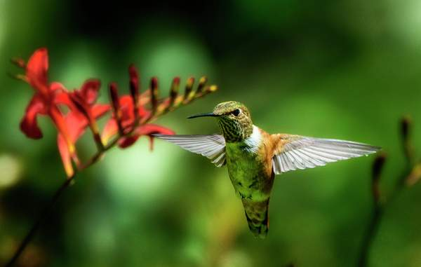 Hummer with Spread Wings in Luciferf 1)