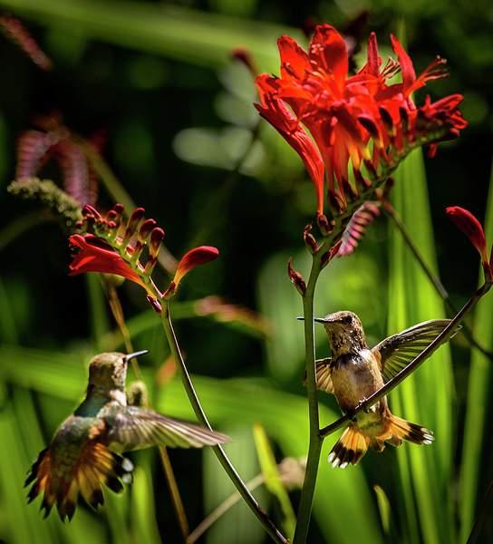 Hummingbird Territorial Dispute of 1)