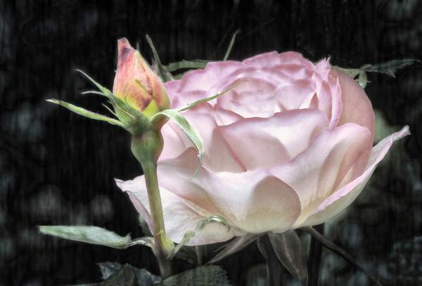 Poetic License with a Rose
