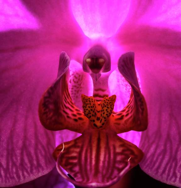 Angel Singing In an Orchid