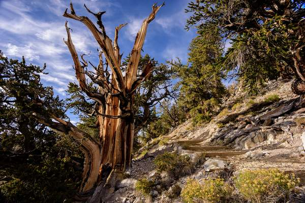 Path Through the Bristlecone Forest