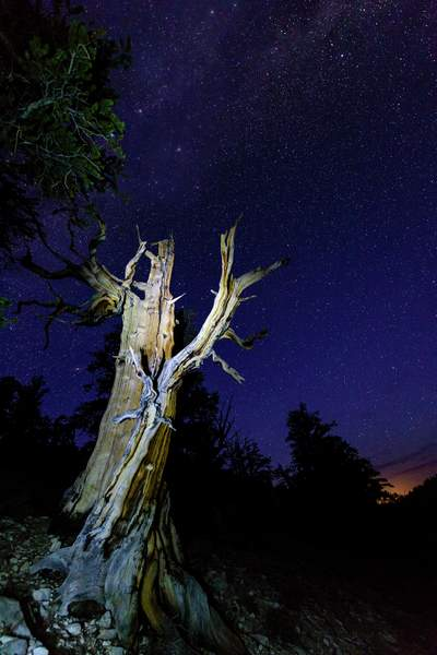 Bristlecone Pine Reaching for the Stars 2