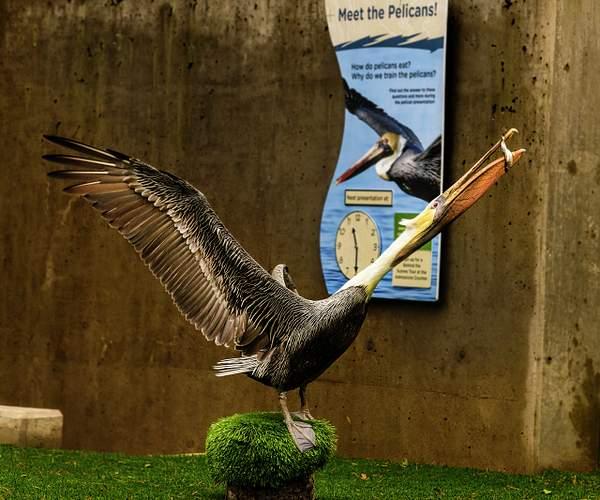 Meet the Pelicans