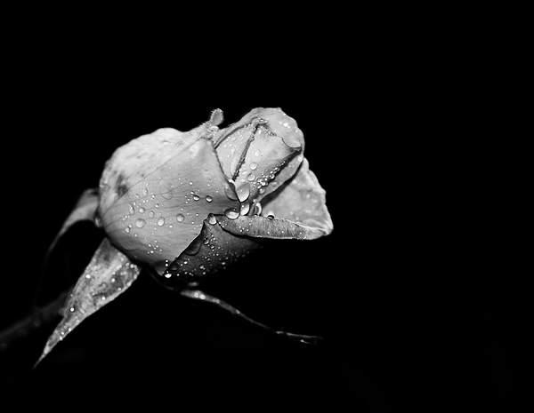 November Rose b and w