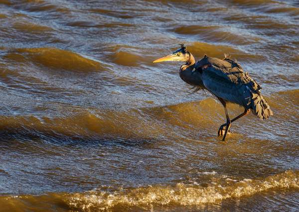 Blue Heron Heading Into the Wind)