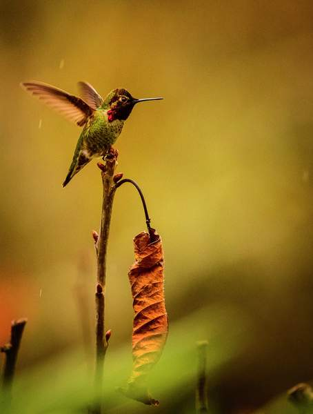 Hummer Shaking Off the Rainof 1)