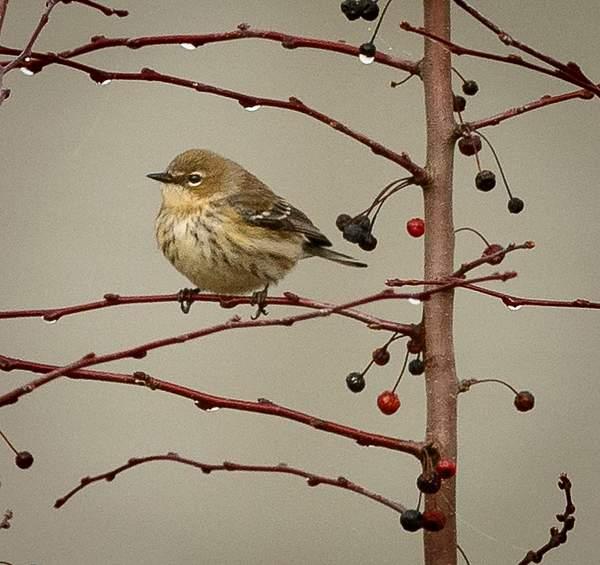 Bird and Berries