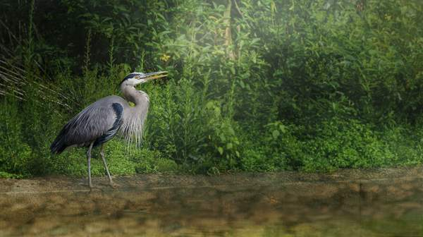 Blue Heron for texture