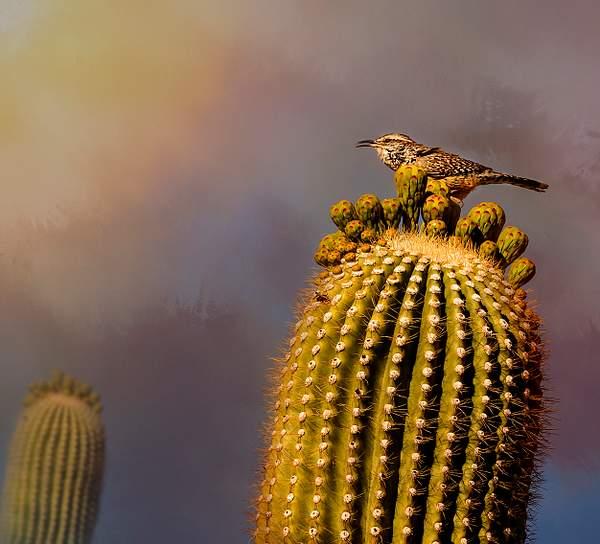 Cactus Wren for Textures