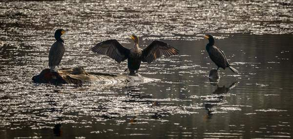 Conducting the Cormorant Duo