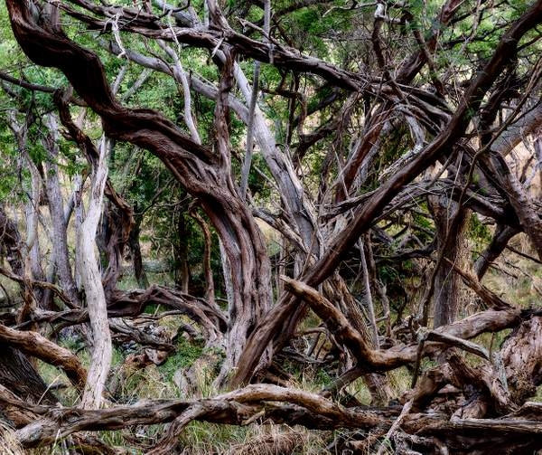 Gnarled Woods By the Sea