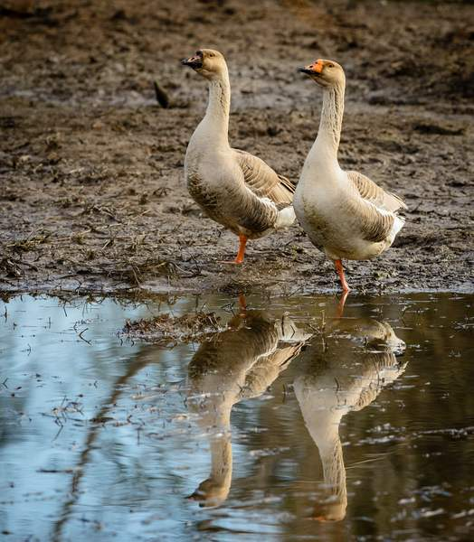 Goose and Gander Standing Tall in the Mud