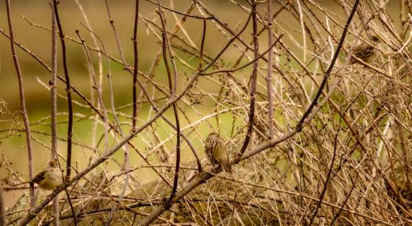 golden crowned sparrows