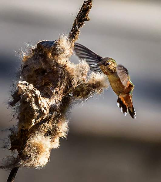 Hummer Coming In to Collect Nesting Materials