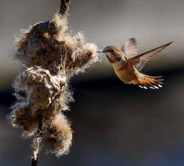 Hummer Gathering Nesting Materials with Spread Tail Feathers