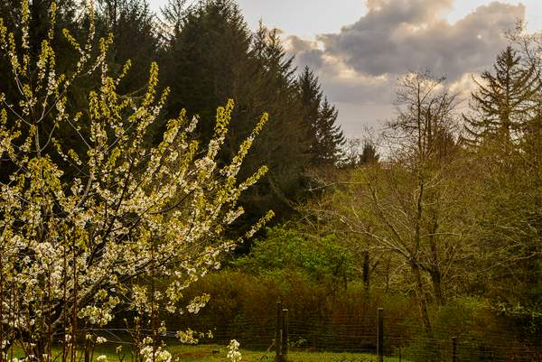 Pear blossom sunset