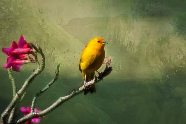 Safron Finch
