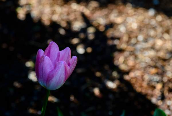 Tulip with Bokeh