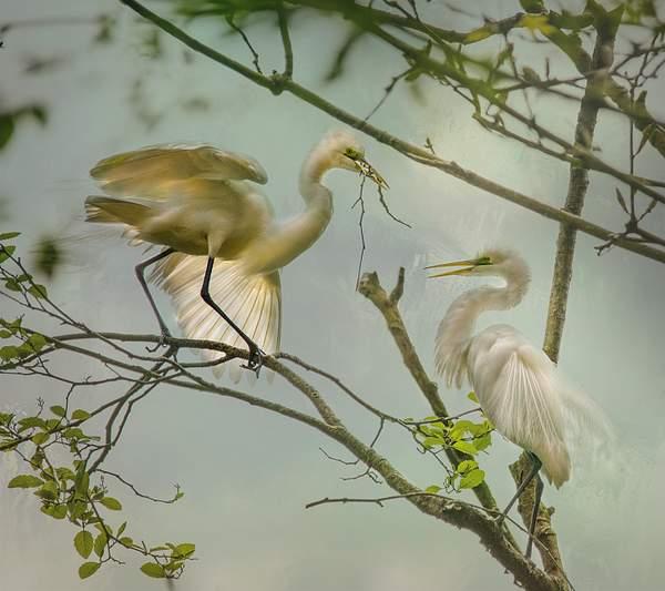White Egrets Building a Nest