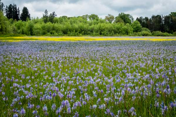 Camas and Sinkfoil Fields