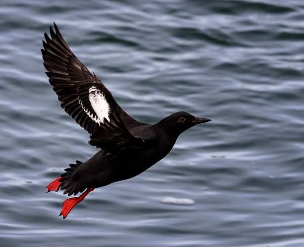 Flying Pigeon Guillemot 1