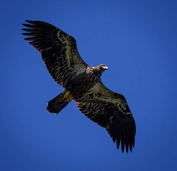 Juvenile Bald Eagle Fly Over