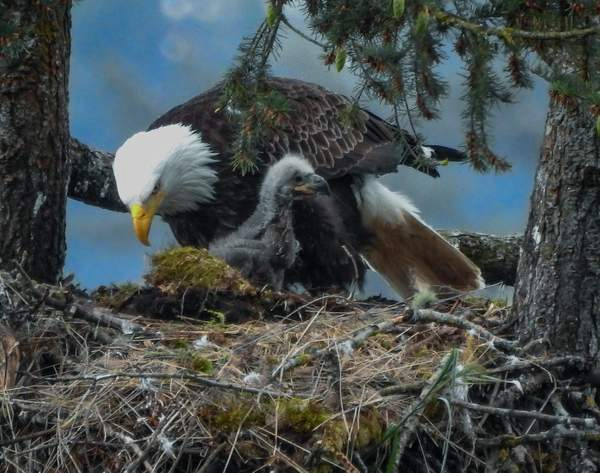 Mom and Eaglet In Nest