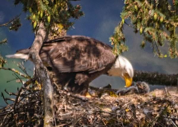 Mom feeding eaglet