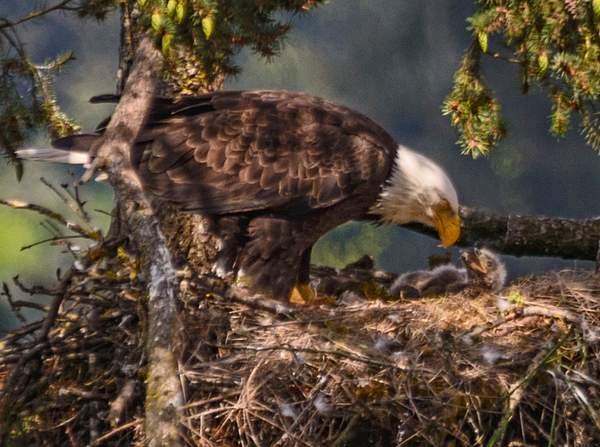 Mom feeding eaglet 2